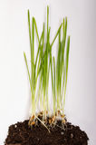 Corn plant growing from seed to seedling isolated stock photo