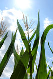 Corn Plant Growing In Summer Sun Stock Photo