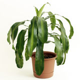 Corn Plant Houseplant. Dracaena fragrans or cornstalk Dracaena house plant in a brown plastic pot in front of a white background Stock Photo