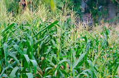Corn Plant at Nonthaburi Thailand Royalty Free Stock Photos