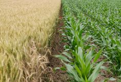 Corn Plant Beside Rice Plant Under Blue Sky during Daytime Stock Photos
