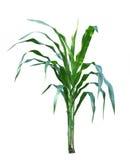 Corn Plant Royalty Free Stock Photo