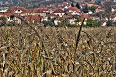 Corn plantation. Dry corn stalks still in the field in October Stock Images