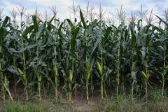 Corn Plantation. Image of Corn Plantation in Chiang Mai Stock Photos