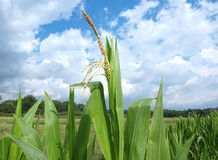 Corn plantation Stock Photos