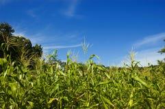Corn Plantation stock photos