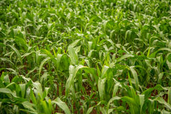 Corn plantation crop cultive Royalty Free Stock Images