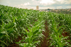 Corn plantation crop cultive Royalty Free Stock Photo
