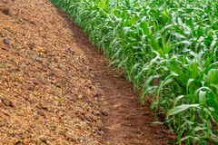 Corn plantation crop cultive Royalty Free Stock Photography