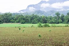 corn plantation in field. maize cultivation in agriculture farm. Royalty Free Stock Image