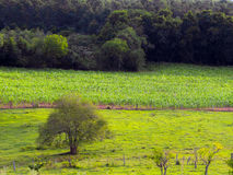 Corn plantation. Corn hill plantation with tree - Lindolfo Collor - Brazil Royalty Free Stock Photography