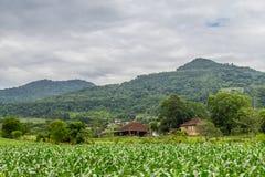 Free Corn Plantation In Farm Stock Photos - 90728693