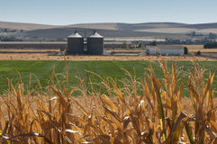 Corn plantation and processing plant factory. For grain grind royalty free stock image