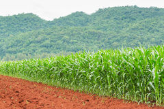 Corn plantation in Thailand Royalty Free Stock Photos