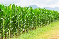 Corn plantation in Thailand Stock Images