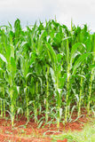 Corn plantation in Thailand Stock Photography