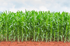 Corn plantation in Thailand. Sweet corn plantation in central of Thailand Royalty Free Stock Images