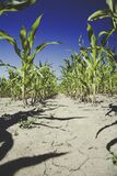 Corn Plantation Under Blue Sky during Daytime Stock Photo