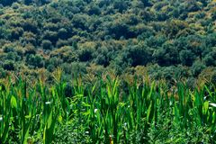 Cornfield in the valley stock images