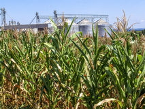 Free Corn Plantation With Silo In The Background Royalty Free Stock Image - 97119316