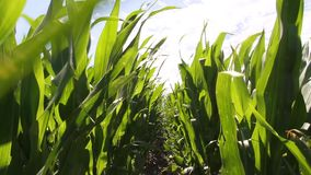 Corn planted in the Argentine countryside stock video