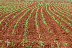 Corn planted. In the ground forming lines Royalty Free Stock Photos