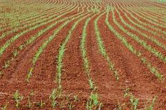 Corn planted Royalty Free Stock Photos