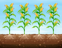 Corn planting on the ground Royalty Free Stock Image