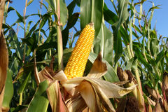 Corn plants Royalty Free Stock Images