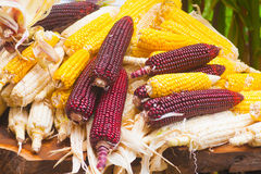 Corn Plants Stock Images