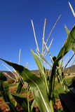 Corn plants. Corn plantation closeup against fabulous blue sky Royalty Free Stock Images