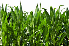 Corn Plants Stock Image