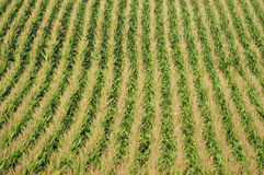 Corn plants and agriculture Stock Photo