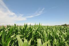 Corn plants with a blue sky and clouds Royalty Free Stock Image