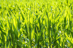 Corn plants Royalty Free Stock Photography
