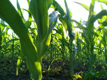 Corn Plants from close Royalty Free Stock Image