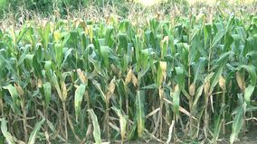 Corn plants stock footage