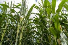 Corn plants on farmland - Close up view. Corn plants on farmland with blue cloudy sky - Close up view Royalty Free Stock Photography