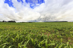 Corn plants   on  field Royalty Free Stock Photo