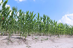 Corn plants in the field Stock Photo