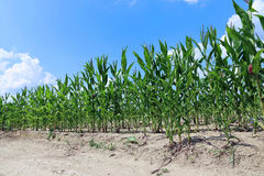 Corn plants in the field Stock Photos