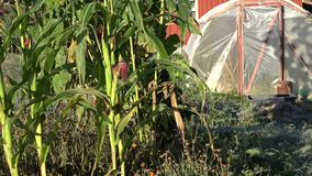 Corn plants and greenhouse covered in first autumn frost. Zoom out. 4K. Corn plants and greenhouse covered in first autumn frost in country farm yard. Zoom out stock video