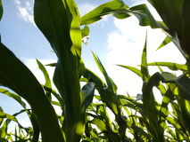 Corn Plants from ground up to the Sky Stock Images