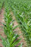 Rows of young corn plants Royalty Free Stock Photography