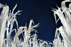 Corn plants infrared Royalty Free Stock Photography