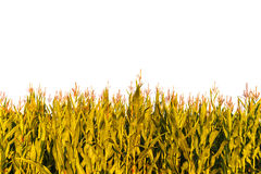 Corn plants isolated on white Royalty Free Stock Photo