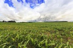 Corn Plants On Field Royalty Free Stock Photo