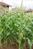 Corn plants Stock Photo