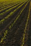 Corn plants in Spring Stock Image