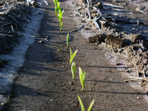 Corn Plants Sprout in Field. New life, fresh, green, pure stock photos